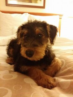 Airedale terrier puppy, so cute, reminds me of Eric all them years ago. R.I.P xx