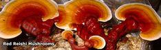Lr Reishi Plus Kapsule - Tradícia Ďalekého východu Huba dlhého života Stuffed Mushrooms, Stuffed Peppers, Health Goals, Perfect Skin, Aloe Vera, Sausage, Skin Care, Meat, Vegetables
