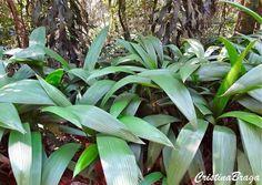 Capim palmeira - Curculigo capitulata - Herbácea rizomatosa, pertence à família Amarylidaceae, nativa da Ásia tropical, de 40-50 centímetros de altura, perene, rizomatosa, entoucerada com folhas surgindo diretamente do rizoma.
