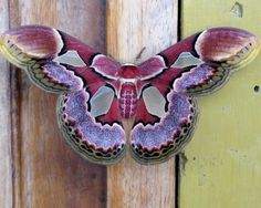 "Some-kinda Moth (whatca macallit) ~ Miks' Pics ""Butterflies and Moths l"" board @ http://www.pinterest.com/msmgish/butterflies-and-moths-l/"