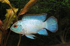 blue acara cichlid   ... electric blue acara a wonderful new addition to your cichlid tank