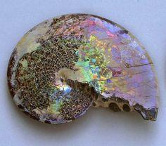 opalized sphenodiscus lenticularis (ammonite) fossil.