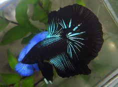 fwbettashm1346124611 - OHM Black Orchid male