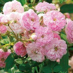 """""""本日の薔薇""""  ^^ ローラ ダボー[ Laure Davoust]  フランス Guillot作 1908年  ちょうどヒマラヤンムスクとブラッシュノワゼットをミックスしたようなポンポン咲きロゼット。小輪の房咲きで、咲き始めはピンク。開くにつれて白色化していきます。旺盛な樹勢でアーチ、パーゴラなどに向きます。スパイスとダマスクの甘い香り。   花径:4cm 樹高:3.0m 花季:一季咲 その他:香⇒香りのよいバラです   ※京阪園芸ガーデナーズの特選つるバラはこちらから→ http://www.keihan-engei-gardeners.com/fs/keihangn/c/climbing"""
