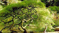 KLON PALMOWY 'DISSECTUM' - u starego okazu widać wyraźnie kształt korony i mocno pogięte gałęzie.