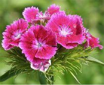 Dianthus barbatus - oeillets du poetes from seeds