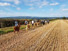 Alpaca Trekking and Glamping Community Events, Glamping, Trekking, Vineyard, Things To Do, Outdoor, Things To Make, Outdoors, Outdoor Games