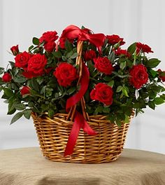 Roses - FTD Mini Rose - The FTD Mini Rose presents your special recipient with rich red flowers to convey your heartfelt love and affection. Two red mini rose plants sit side by side in a woven willow basket tied with a red satin ribbon to create an incredible way to bring romance and vibrant color into their every day. Approximately 10H x 14W.,