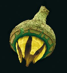 Capsular fruits such as eucalyptus (Eucalyptus virginea) release its ripe seeds in the wind