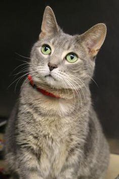 4 / 9    ***SENIOR*** Petango.com – Meet Pandora, a 9 years 9 months Domestic Shorthair / Mix available for adoption in CHICAGO, IL