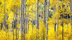 Serene Gathering photo. Fall Aspen tress in Colorado