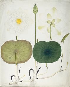 "cinoh: "" White lotus, Nymphaea odorata Author: Unidentified Origin: Bengal, India Date: ca. 1800 Medium: Opaque watercolor on paper Location: Harvard University Library """