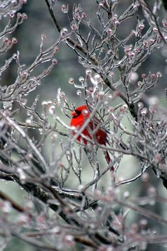 Beautiful Cardinal perched in a tree covered in ice crystals.