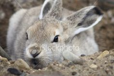 Located Arctic hares are located in extreme northern Canada and various parts of Greenland. Hare Pictures, Arctic Hare, Rabbit Photos, March Hare, Cute Bunny, Pet Birds, Animals Beautiful, Royalty Free Stock Photos, Wildlife