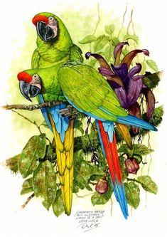 Beautiful Nature Pictures, Beautiful Birds, Macaw Parrot For Sale, Parrot Drawing, Color Pencil Sketch, Bird Illustration, Bird Design, Bird Prints, Bird Art