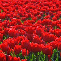 Die rote Tulpe 'Unique de France' glänzt in der Sonne. Tulpenfeld in den Niederlanden. Im eigenen Garten werden sie im Herbst gepflanzt, Blütezeit: ab Mitte April. Online erhätlich bei www.fluwel.de