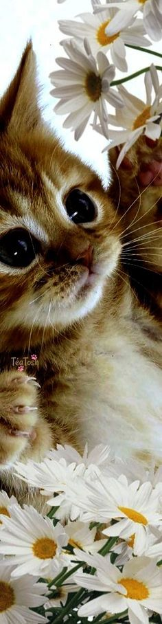 Cute Cats Dancing Cute Kittens And Dogs Pretty Cats, Beautiful Cats, Animals Beautiful, Pretty Kitty, Cute Baby Animals, Animals And Pets, Funny Animals, Easy Animals, Wild Animals