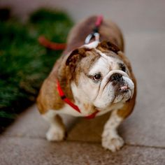 The major breeds of bulldogs are English bulldog, American bulldog, and French bulldog. The bulldog has a broad shoulder which matches with the head. French Bulldog Puppies, Chihuahua Puppies, Dogs And Puppies, Doggies, Wallpaper English, Bulldogs Ingles, Dog Facts, Animal Books, Cat Behavior