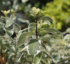 pittosporum tenuifolium marjorie channon 1