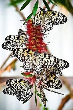 Butterfly nectar excitement