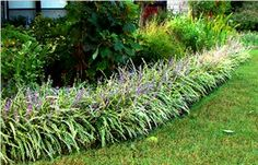 liriope Variegated-Monkey grass-- a great front edge for the monkeys at your house