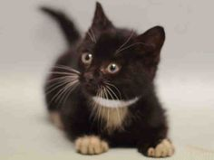 **BABY** Super Urgent Manhattan - CARSON - #A1101959 - MALE BLACK WHITE DMH MIX, 2 Mos - STRAY - NO HOLD Reason STRAY - Intake 01/22/17 Due Out 01/26/17 - STREET KITTEN, NEW HOPE ONLY