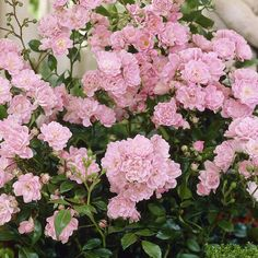 The Garden Swap: Fairy Pink Cushion Rose Growing Roses, Flower Garden, Thornless Climbing Roses, Bloom, Plants, Pink Roses, Rose Fertilizer, Rose Trees, November Flower