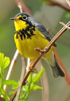 Canada Warbler (Wilsonia canadensis). A migratory New World warbler. photo: Ed