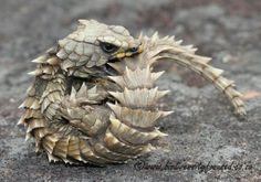 Want!!!!!  ♥ armadillo lizard