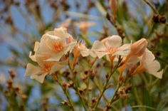 Okos praktikák: így kell teleltetni a leandert - Ripost Plants, Planters, Plant, Planting