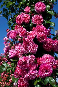 Raspberry Cream Twirl™ 'Meiteratol'