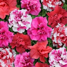 Petunia Bonanza Mixed F1 Seeds - Irish Plants Direct