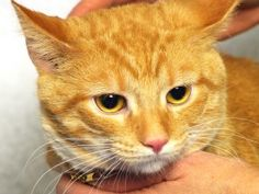 Tangerine is an adoptable Tabby - Orange Cat in Indianapolis, IN. Ask to meet 'Tangerine: A168199.' Indianapolis Animal Care and Control's adoption fee is $60 for all animals. This includes the spay/n...