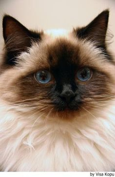 I want a cat that looks like this soo bad ! it reminds me of my old cat simba.
