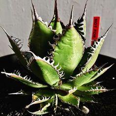 #agave #horrida #ssp #pup #plant #plans #cactus #botanical #アガベ #ホリダ #子株 #多肉植物 #カクタス #カクタス #サボテン #エケベリア #