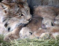 Lynx kittens born at Cheyenne Mountain Zoo