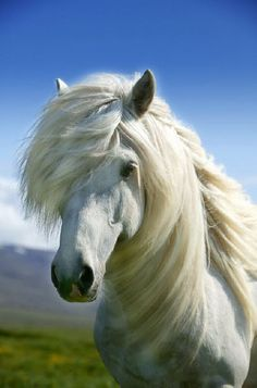 Beautiful white Icelandic horse with flowing mane #animals