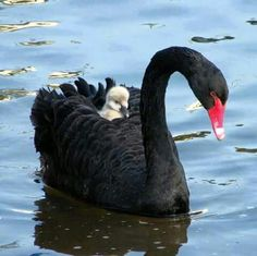 Swan mother with its duckling on its back.