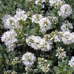 Hebe pinguifolia 'Pagei' - Véronique blanche - Hébé naine The Outsiders, Flora, Gardens, White Flowers, Midget Man, Plants
