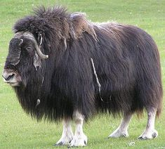 Musk Ox Please do not forget to visit our website : http://petsuppliesalive.com