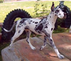 Colors of Great Danes on Pinterest | Great Danes, Blue ...