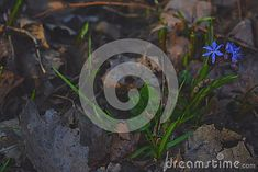 Picture of blue-purple flowers among last years` fallen leaves