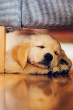 Adorable Sleeping Golden Retriever Puppy Wallpaper For Iphone Hd Wallpapers Mobile