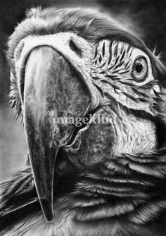 "Pencil Drawings Parrot pencil drawing by Peter Williams. - ""I am Peter Williams, an entirely self taught UK artist, working out of my studio on the Suffolk coast where I live with my long term partne. Pencil Drawings Of Animals, Bird Drawings, Drawing Sketches, Realistic Drawings Of Animals, Drawing Ideas, Drawing Step, Graphite Art, Graphite Drawings, Desenho Tattoo"