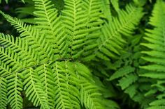 Christmas Fern! Why Christmas? Because it remains green right through the holiday season. The robust leathery and flossy foliage ferns are the perfect living wall garden solution because of its ability to adapt to a wide range of conditions.