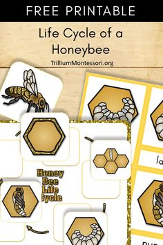 Free Printable: Life Cycle of a Honey Bee – Trillium Montessori – Animals Time Bee Activities, Montessori Activities, Kindergarten Activities, Sequencing Activities, Toddler Activities, Free Preschool, Preschool Science, Preschool Ideas, Honey Bee Life Cycle