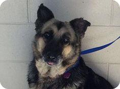 German Shepherd Dog Dog for adoption in Pomona, California - I1264371