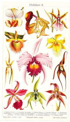 Aus einen Lexikon um das Jahr 1900 habe ich diese wunderbare Bildtafel: Orchideen 2.    Es sind sehr schöne Illustrationen, die wunderbar dekorativ in
