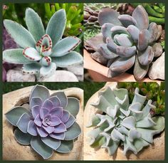 Exotic Succulent Collection We have put together 4 popular exotics plants to offer as a collection.  Succulent varieties  may vary. It is a great way to get started with Exotic Succulents.  They can be used  indoors in a brighly lighted  area or outdoors in filtered light.  Very easy to care for but protect from frost. 4 succulents – 2.5″ pots