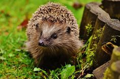 Our Native hedgehog ..... sadly declining in numbers